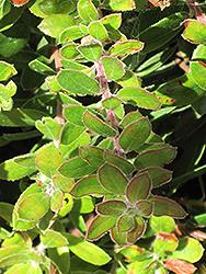 Little Sur Manzanita (Arctostaphylos edmundsii) at Roger's Gardens