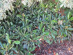 Coppertone Loquat (Rhaphiolepis 'Coppertone') at Roger's Gardens