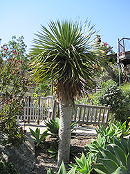 Dragon Tree (Dracaena draco) at Roger's Gardens