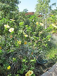 Hula Girl Hibiscus (Hibiscus rosa-sinensis 'Hula Girl') at Roger's Gardens