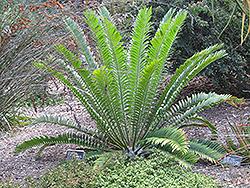 Natal Cycad (Encephalartos natalensis) at Roger's Gardens