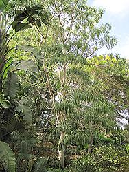 Quinine Tree (Rauvolfia caffra) at Roger's Gardens