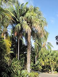 Sonoran Palmetto (Sabal uresana) at Roger's Gardens