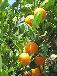 Calamondin (Citrofortunella x mitis) at Roger's Gardens