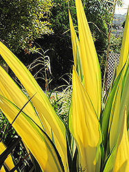 Mediopicta Mauritius Hemp (Furcraea foetida 'Mediopicta') at Roger's Gardens