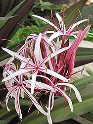 Red Giant Crinum Lily (Crinum asiaticum var. procerum) at Roger's Gardens