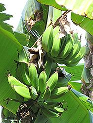 Orinoco Banana (Musa 'Orinoco') at Roger's Gardens