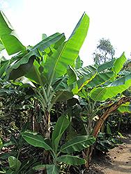 Extra Dwarf Cavendish Banana (Musa 'Extra Dwarf Cavendish') at Roger's Gardens
