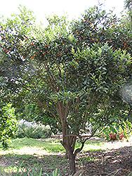 Oval Kumquat (Fortunella margarita) at Roger's Gardens