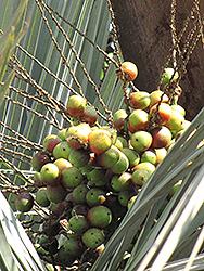 Jelly Palm (Butia capitata) at Roger's Gardens