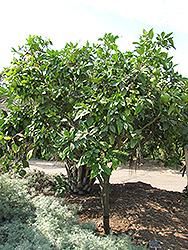 Chandler Pummelo (Citrus maxima 'Chandler') at Roger's Gardens