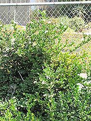 Kishu Mandarin (Citrus reticulata 'Kishu') at Roger's Gardens