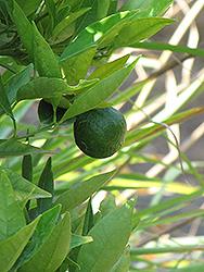 Lee Mandarin (Citrus reticulata 'Lee') at Roger's Gardens