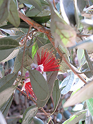 Trask Pineapple Guava (Acca sellowiana 'Trask') at Roger's Gardens
