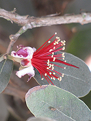 Mammoth Pineapple Guava (Acca sellowiana 'Mammoth') at Roger's Gardens