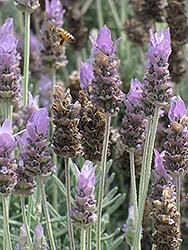 French Lavender (Lavandula dentata) at Roger's Gardens