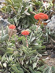Airplane Plant (Crassula falcata) at Roger's Gardens