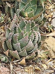 Short-leaved Aloe (Aloe brevifolia) at Roger's Gardens