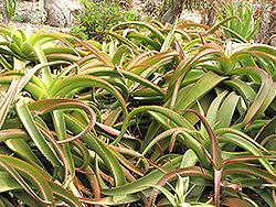 Van Balen's Aloe (Aloe vanbalenii) at Roger's Gardens