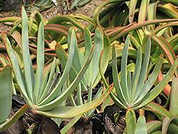 Fan Aloe (Aloe plicatilis) at Roger's Gardens
