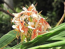 White Ginger Lily (Hedychium coronarium) at Roger's Gardens
