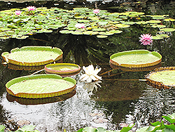 Giant Water Lily (Victoria amazonica) at Roger's Gardens