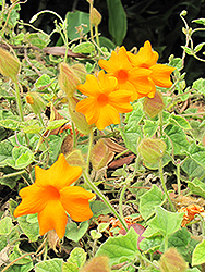 Orange Clock Vine (Thunbergia gregorii) at Roger's Gardens