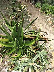 Shelpe's Aloe (Aloe schelpei) at Roger's Gardens