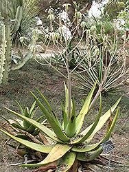 Hairy Green Aloe (Aloe tomentosa) at Roger's Gardens