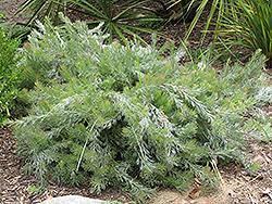 Albany Woolly Bush (Adenanthos x cunninghamii) at Roger's Gardens