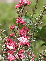 Broom Tea-Tree (Leptospermum scoparium) at Roger's Gardens