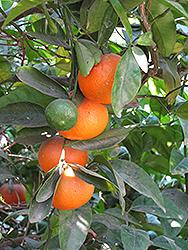 Honey Tangerine (Citrus reticulata 'Honey') at Roger's Gardens