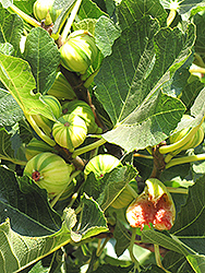 Panache Fig (Ficus carica 'Panache') at Roger's Gardens