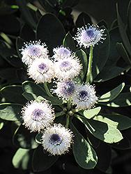 Globe Daisy (Globularia x indubia) at Roger's Gardens