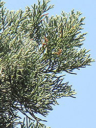 Guadalupe Cypress (Cupressus guadalupensis) at Roger's Gardens