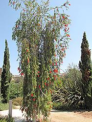 Weeping Bottlebrush (Callistemon viminalis) at Roger's Gardens