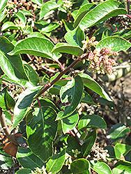 Sugar Bush (Rhus ovata) at Roger's Gardens