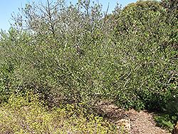 Tree Lilac (Ceanothus arboreus) at Roger's Gardens