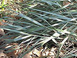 Canyon Prince Giant Wild Rye (Leymus condensatus 'Canyon Prince') at Roger's Gardens