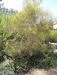 Moon Lagoon Dwarf Eucalyptus (Eucalyptus 'Moon Lagoon') at Roger's Gardens