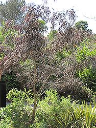 After Dark Agonis (Agonis flexuosa 'After Dark') at Roger's Gardens