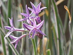 Variegated Society Garlic (Tulbaghia violacea 'Variegata') at Roger's Gardens