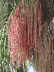 Christmas Palm (Veitchia merrillii) at Roger's Gardens