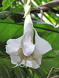 Double White Angel's Trumpet (Brugmansia x candida 'Double White') at Roger's Gardens