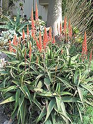Aloe Vera (Aloe vera) at Roger's Gardens