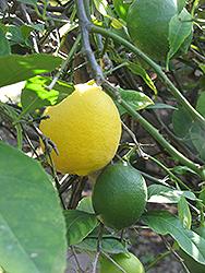 Improved Meyer Lemon (Citrus x meyeri 'Meyer Improved') at Roger's Gardens