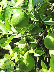 Bearss Lime (Citrus x latifolia 'Bearss') at Roger's Gardens