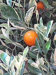 Variegated Calamondin (Citrofortunella x mitis 'Variegata') at Roger's Gardens