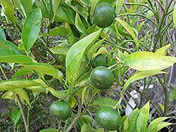 Kinokuni Mandarin Orange (Citrus kinokuni) at Roger's Gardens