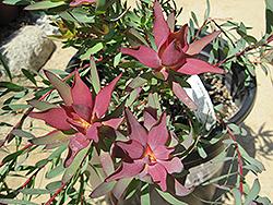 Blush Conebush (Leucadendron salignum 'Blush') at Roger's Gardens